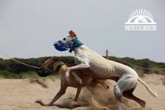 #galgos #Greyhound #playa #happy