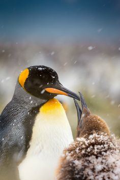 """expressions-of-nature: """" King Penguins by: Peter Orr """""""