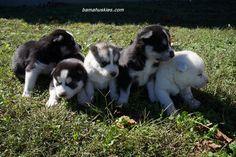 Jordan's Husky Puppies 3 Weeks Old « Husky Puppies For Sale Alabama, Tennessee, Georgia, Mississippi Husky Puppies For Sale Alabama, Tennessee, Georgia, Mississippi #husky #puppies