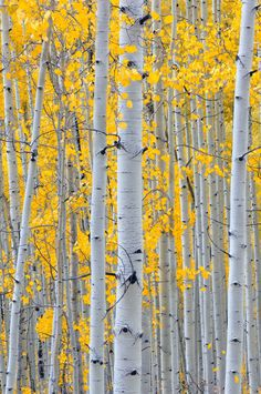 21 Ideas for birch tree pictures yellow Aspen Trees, Birch Trees, Birch Forest, Autumn Trees, Tree Art, Belle Photo, Painting Inspiration, Nature Photography, Photography Ideas