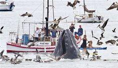 Dev balina kanocuların arasında beslendi.