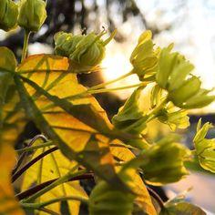 Suosikkivuodenaika omalla pihalla n-y-t #kevät #toukokuu #spring #vaahtera #nuppu #kukka #piha #puutarha #igersoftheday #rsa_ladies #nature  #outdoor #life #futuremarja  #järvenpää #mikääneioleniintärkeääkuinpuutarhanhoito May, Spring, Instagram Posts, Plants, Plant, Planets