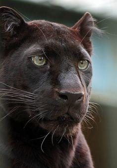 Black jaguar (panther)