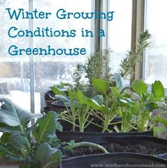 Winter growing is not the same as winter harvesting. There are several winter growing conditions in a greenhouse that need to be met to be able to grow. gardening winter Winter Growing Conditions in a Greenhouse - Northern Homestead Winter Greenhouse, Cheap Greenhouse, Backyard Greenhouse, Greenhouse Growing, Mini Greenhouse, Greenhouse Plans, Portable Greenhouse, Homemade Greenhouse, Organic Gardening