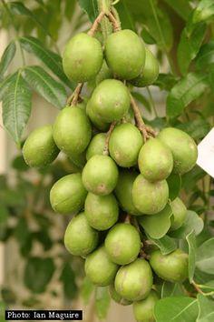 June plum, ambarella or buah kedondong (Spondias dulcis) is an equatorial tree with edible fruit containing a fibrous pit.