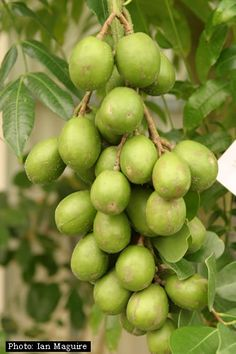 June plum, ambarella or buah kedondong (Spondias dulcis) is an equatorial tree with edible fruit containing a fibrous pit.