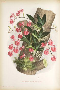 Jean Jules Linden Lindenia. Iconographie des Orchidées , 1885-1906; Comparettia Falcata Poepp. Et Endl.,  Image number:SIL7-289-20