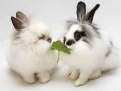 lionhead rabbits | LionHead Bunnies~*