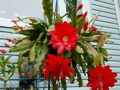 Disocactus ackermannii (Red Orchid Cactus) is an attractive epiphytic cactus with with environmentally friendly or reddish stems. Typically the stems consist of a new short. Plants, Growing Orchids, Bloom, House Plants, Red Orchids, Hanging Plants, Orchids, Red Cactus, Orchid Cactus