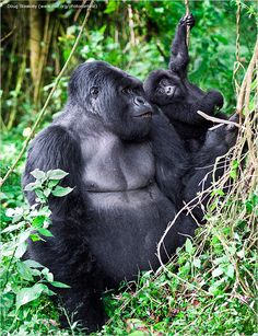 """Doug Steakley Carmel Valley, California Baby Animals, Second Place -- A male mountain gorilla exchanges a glance with a young member of the troop. """"Not all silverbacks are friendly to younger gorillas, so this is a particularly touching scene,"""" says Steakley, a professional tour guide  _National Wildlife Photo Contest 2015"""