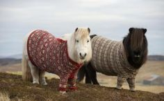 Shetland ponies wearing knitted jumpers