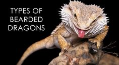 The 9 Different Bearded Dragon Types Bearded Dragon Breeding, Bearded Dragon Colors, Bearded Dragon Habitat, Bearded Dragon Cage, Bearded Dragon Funny, Bartagamen Terrarium, Bearded Dragon Terrarium, Dragon Facts, Types Of Dragons