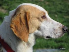 Russell: Hound, Dog; Dewitt, NY  http://www.petfinder.com/petdetail/22696005#  super sweet dog one of my favorites at the rescue, needs some tlc because he's very very shy!