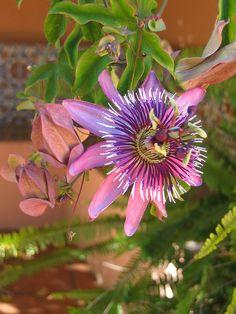 Passion Flower ~ Passiflora