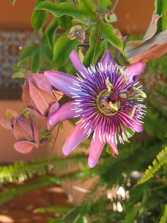 Passion Flower ~ Passiflora