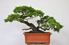 Potting up a Hemlock- Bonsai Tree Care, Bonsai Art, Bonsai Plants, Prunus Mume, Human Art, Photo Essay, Evergreen, Planter Pots, Herbs