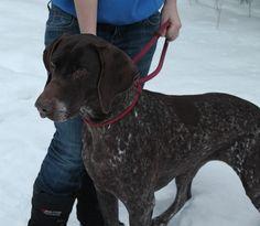 47 Best German Shorthair Pointer Us Lost Dog Registry Images Losing A Dog Find Pets Dogs
