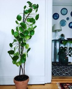 Pilea Peperomioides, indoor plants and greenery for he home Potted Plants, Garden Plants, Indoor Plants, Foliage Plants, Indoor Trees, Hanging Plants, Shade Garden, Star Deco, Plantas Indoor