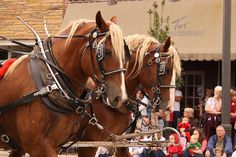 #Benson Mule Days Festival held the four weekend in September each year.  #Mules and #horses welcomed for the four day event, filled with fun activities for the entire family.