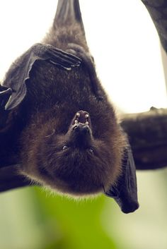 Fruit Bat by lillywhite376 on Flickr.