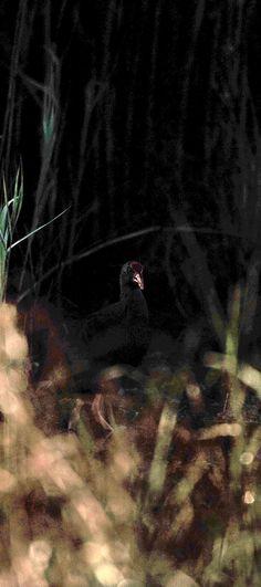 Sinis di Riola, Photo GF, Nikon D700 + 200 400 f/4 1/1600 sec. ISO360 400 mm f4 17/08/2014 07:29am #guidofrilli - Pollo sultano - Pauli Murtas