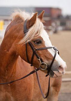 EB Pony Grackle Bridle