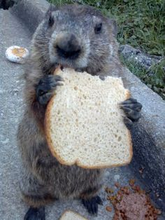 Greg the Groundhog does lunch in Christiansburg. Photo courtesy of Dot Finch.