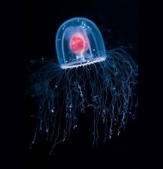 méduse immortelle
