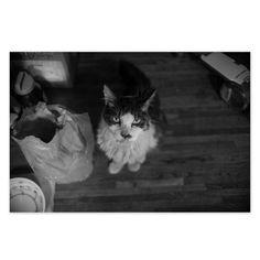 https://flic.kr/p/wW3otq   Champ August 2015  #cat #smallcats #blackandwhitephotography