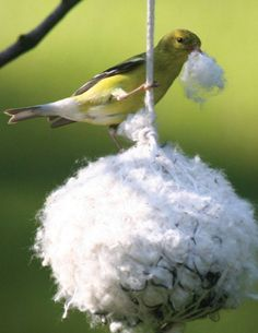 lesser goldfinch eating - Google Search