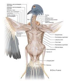 Pigeon muscles.jpg - pigeon anatomy illustrated