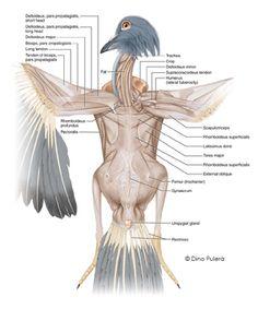 Pigeon muscles.jpg - pigeon anatomy illustrated