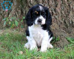 Roxy | Cocker Spaniel Puppy For Sale | Keystone Puppies Baby Puppies For Sale, Spaniel Puppies For Sale, Cocker Spaniel Puppies, Cockerspaniel, Roxy, Cute Babies, Animals, Cocker Spaniel Pups, Animales