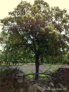 Año 2015: La Dehesa, un Fresnedal en los Alrededores del Yacimiento Madrid, Trunks, Plants, Drift Wood, Planters, Plant, Planting