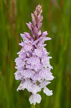 Dactylorhiza maculata, in the natural habitat - Photo from: The flower of the European orchid - Form and function: by Jean Claessens & Jacques Kleynen