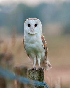Barn owl stare by pixellence2.deviantart.com on @DeviantArt