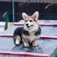 Everything About Cute Corgi Puppy Health Funny Dog Memes, Funny Dogs, Cute Dogs, Pembroke Welsh Corgi Puppies, Corgi Dog, Cute Baby Animals, Funny Animals, Fluffy Corgi, Back To Nature