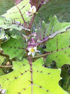Solanum quitoense - Naranjilla