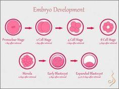 Illustration of Embryo Development. #fertility #ivf #infertility @SurrogacyLive http://www.surrogacyabroad.com/