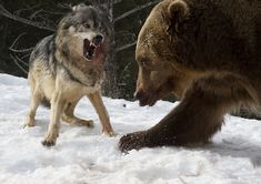 Grizzly and brave Wolf - The wolves were feeding on a deer carcass then the Grizzly arrived and a serious fight broke out but the Grizzly won by a mile.
