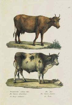 The Antiquarium - Antique Print & Map Gallery - Karl Brodtmann - Bos taurus domesticus, foemina (Cattle) Hand-colored lithograph