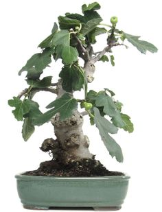 Name: Ficus carica Age: ca. 15 years Height: ca. 36 cm  http://www.bonsai.de/shop/bonsai-kalthaus-k021-c-51_58_630.htm?&language=en
