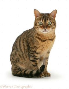 1000+ images about cats on Pinterest | Cat sitting, Tabby ... Tabby Cat Sitting Up