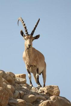 Male Nubian ibex (Capra (ibex) nubiana) | por RonW's Nature Photography
