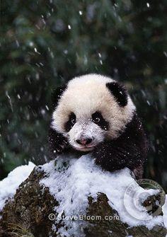 Panda cub in the snow, Sichuan, China