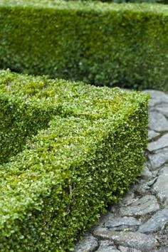Hedges are both decorative and useful for any landscape. Use them to designate and divide spaces, add interest, or provide a little extra privacy. If you have previously thought of hedges as just green and boring, think again. Hedges Landscaping, Front Yard Landscaping, Backyard Landscaping, Landscaping Ideas, Backyard Ideas, Evergreen Hedge, Boxwood Hedge, Formal Gardens, Outdoor Gardens