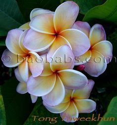 Plumeria rubra TONG TAWEEKHUN - Click on the photo to see more on www.baobabs.com