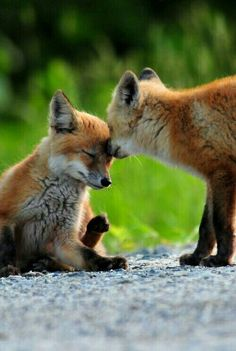 Fox snuzzles @animaIlife