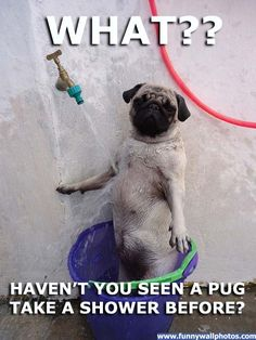 Funny pug pictures With Captions ......well this is the most perfect thing that was ever created