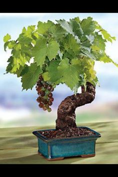 Miniature wine grape tree